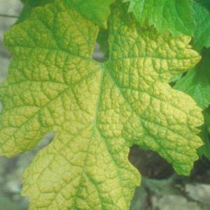 Découverte d'une résistance naturelle au virus du court-noué chez la vigne !