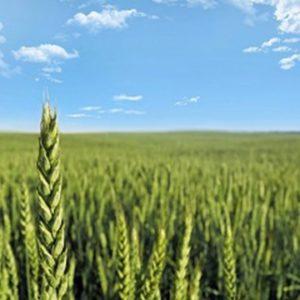 Coup de boost pour les blés hybrides !
