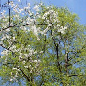 Fécondité des arbres et vieillissement biologique